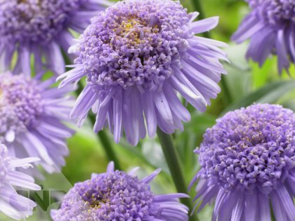 Blue Aster X (AA 100101 ®)