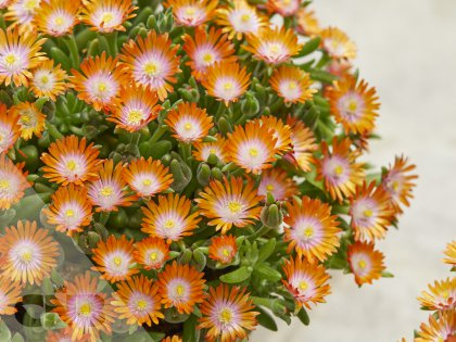 Delosperma Ice Cream™  Orange
