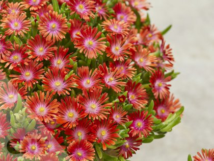 Delosperma Ice Cream™   Red Current
